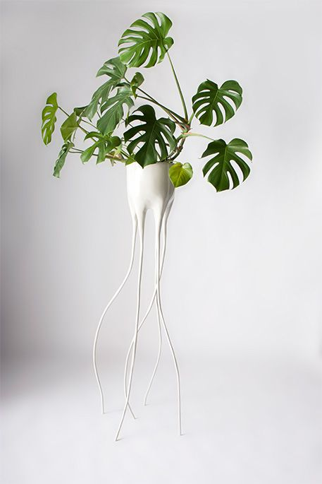 Cheese plant in flower pot with spindly legs